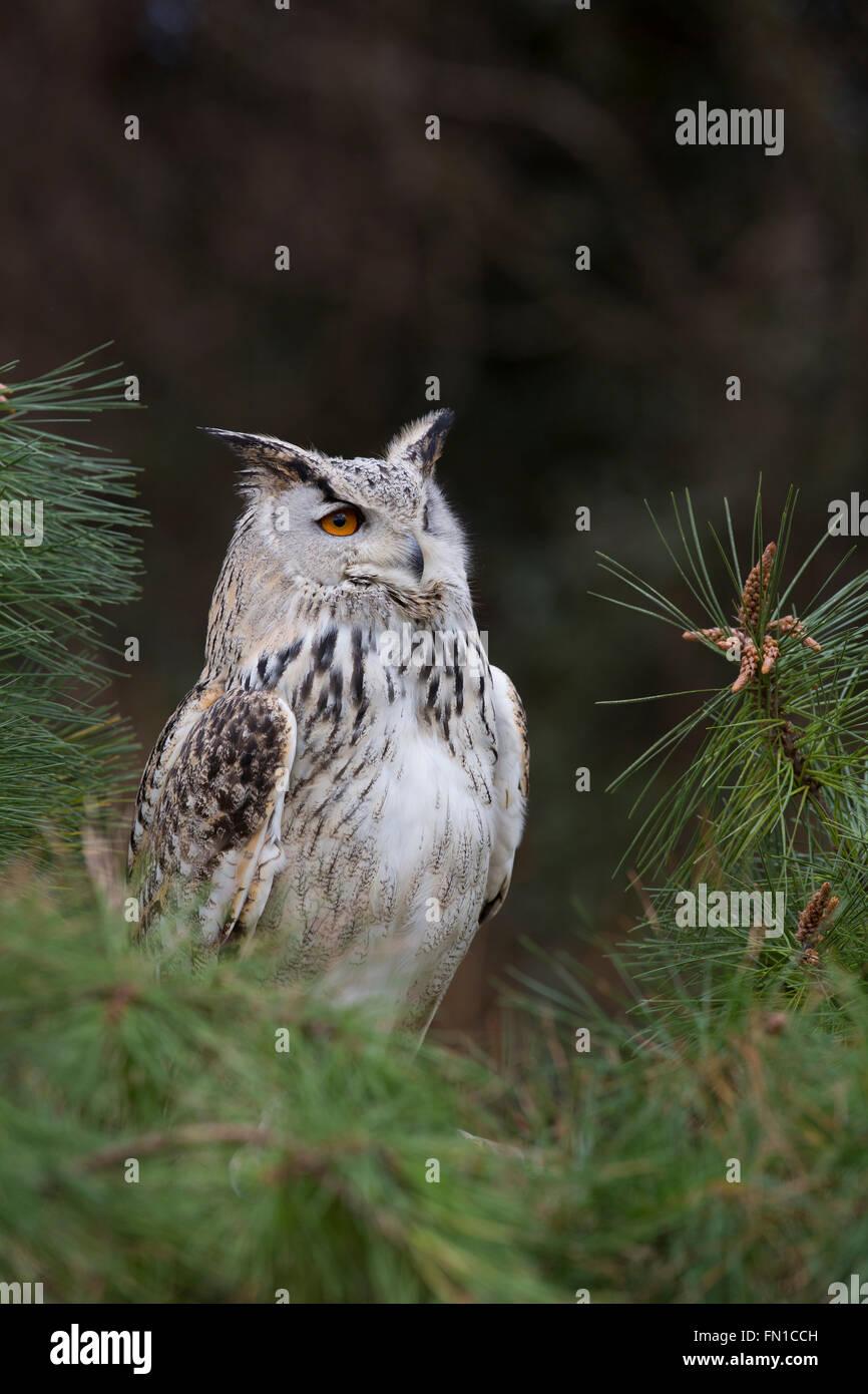 Eastern Siberian Eagle Owl; Bubo bubo yenisseensis Single Captive UK - Stock Image