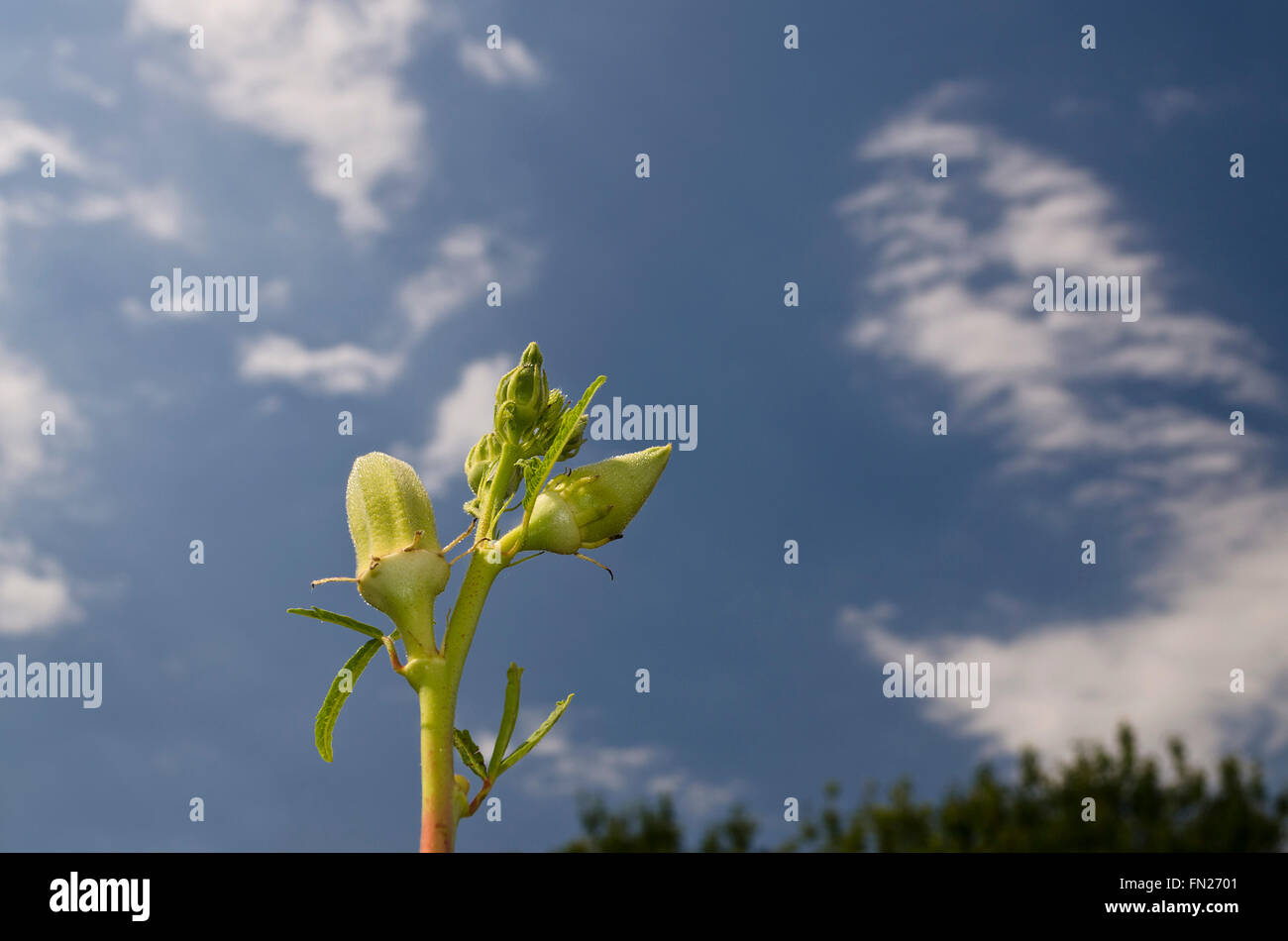 Okra or Gumbo, variety of herb green bloom on the sky - Stock Image