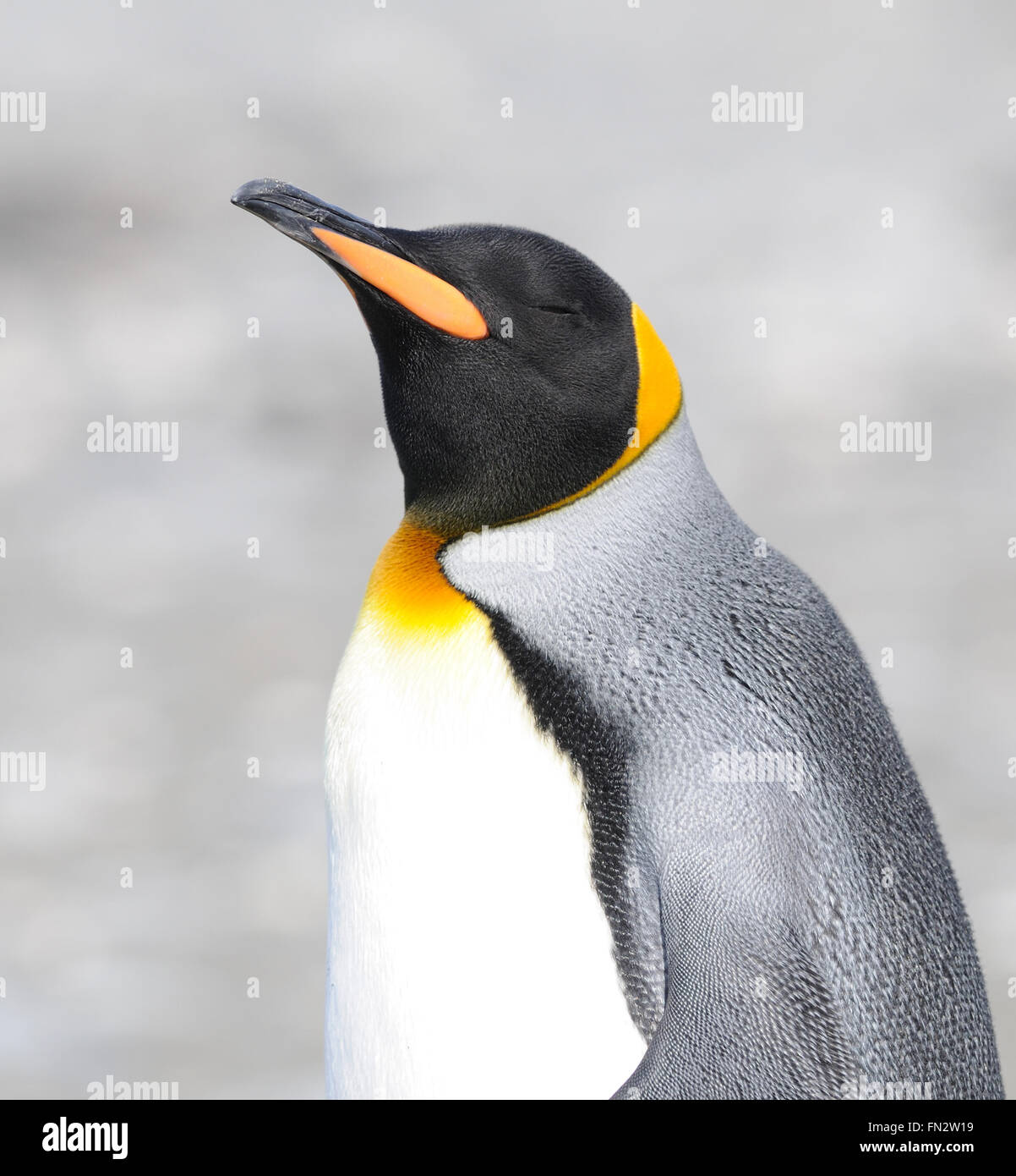 A King penguin (Aptenodytes patagonicus) on the beach near their nesting colony. Salisbury Plain, Bay of Isles, - Stock Image