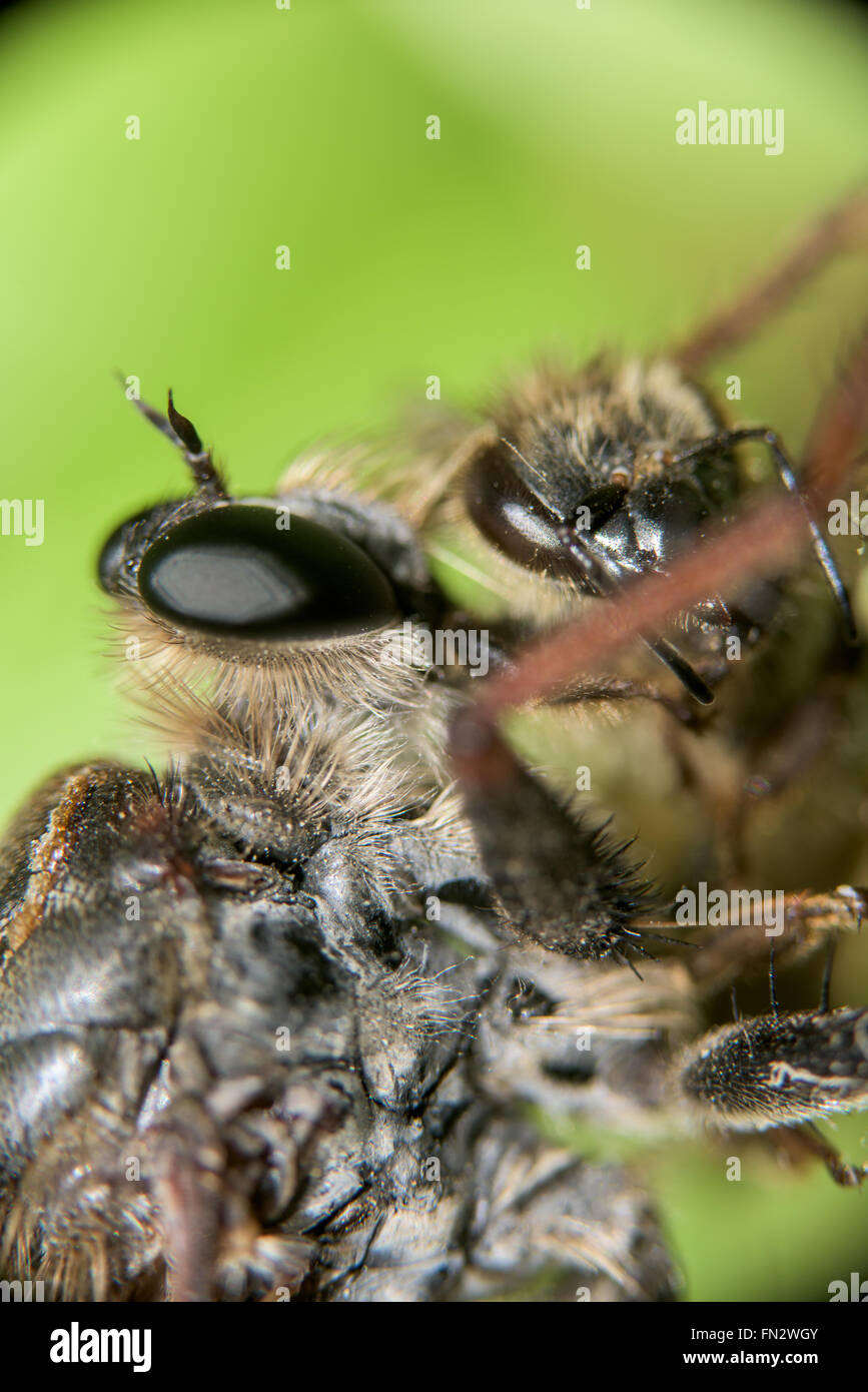Close-up of a dragonfly eating a bee - Stock Image