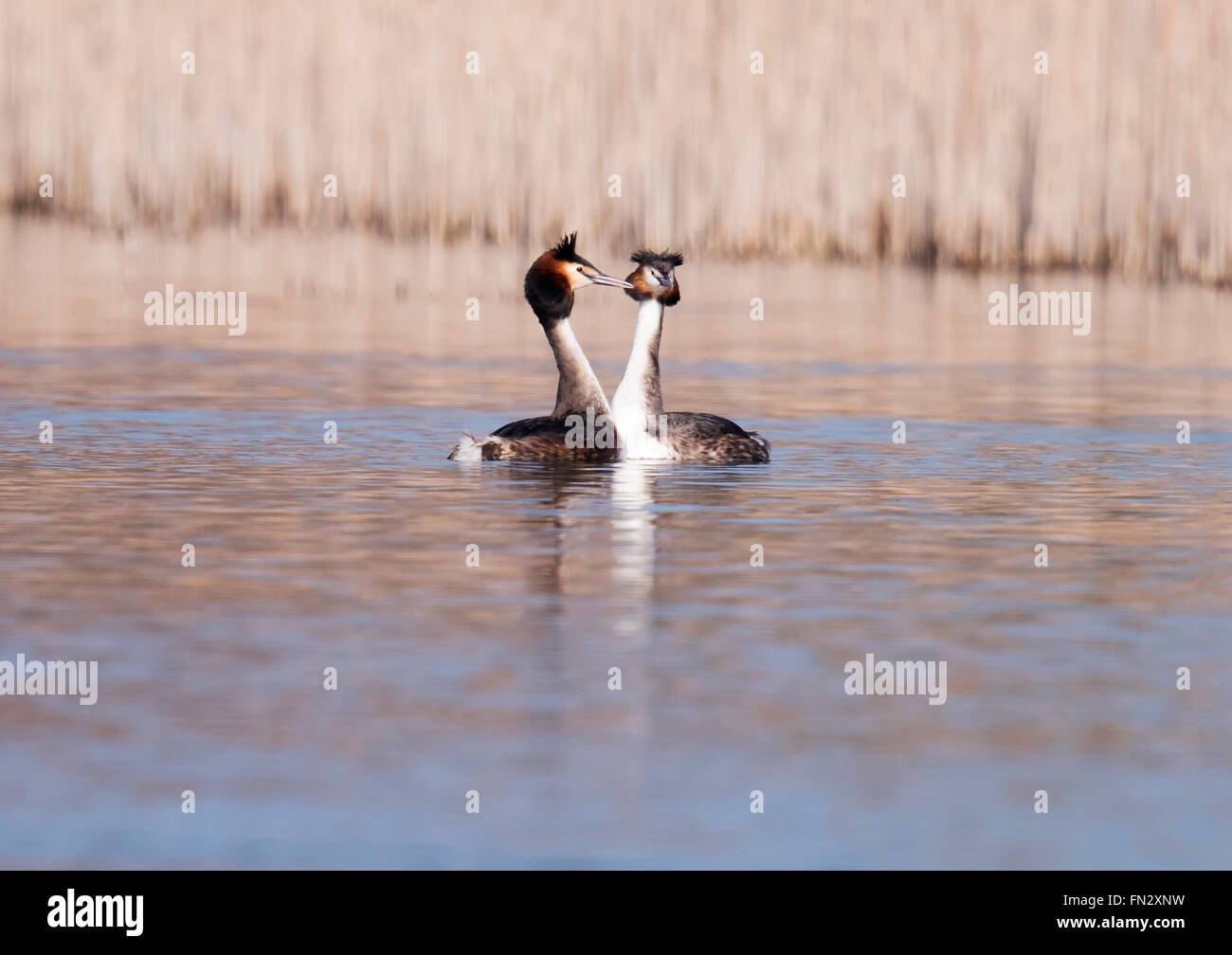 Pair of Great Crested Grebes (Podiceps cristatus) in courtship display - Stock Image