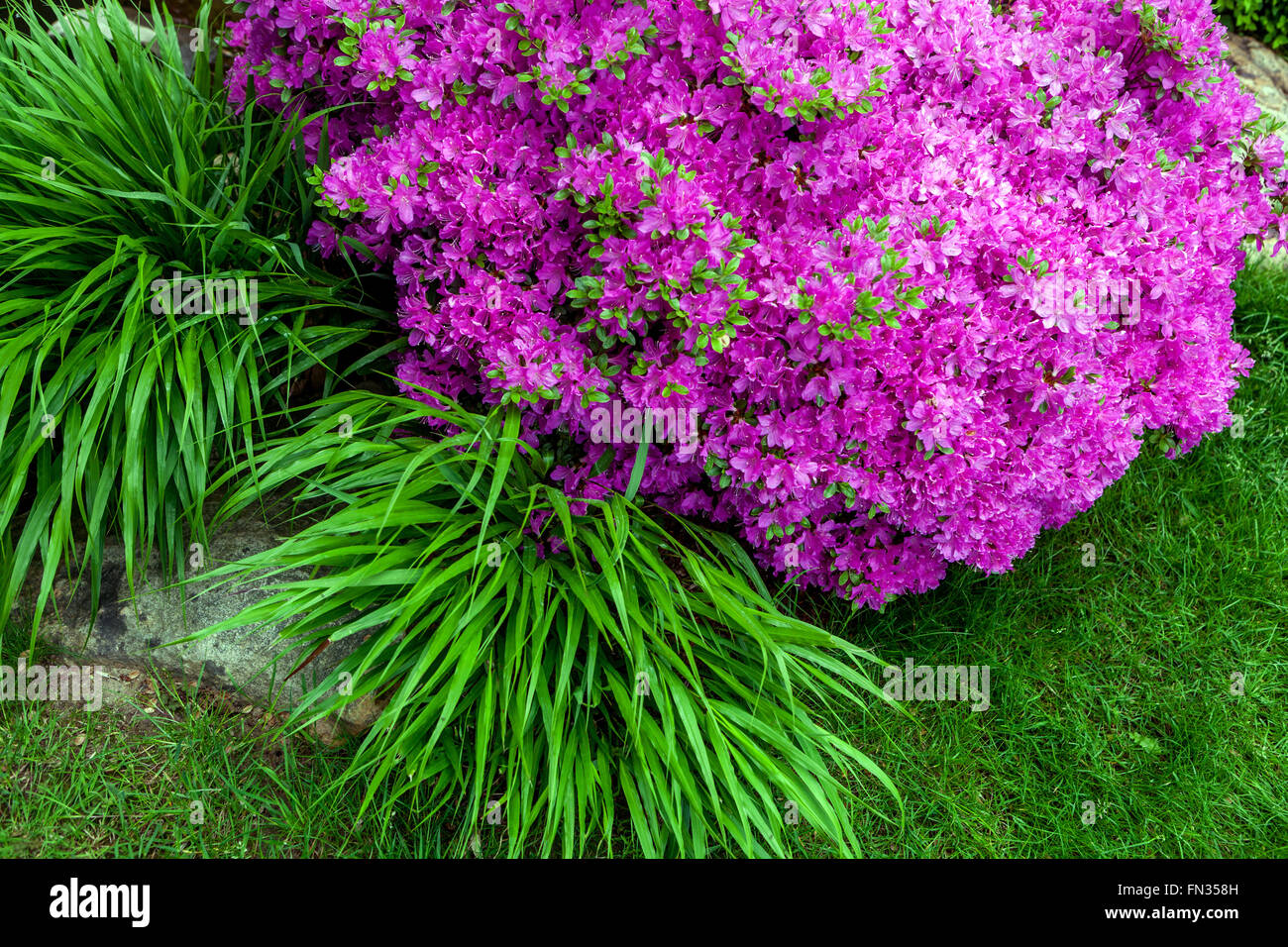 Luzula sivatica 'Waldeer' and pink azalea - Stock Image