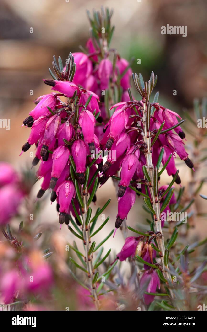 Deep pink bell flowers of the winter flowering heather, Erica carnea 'Myretoun Ruby' - Stock Image