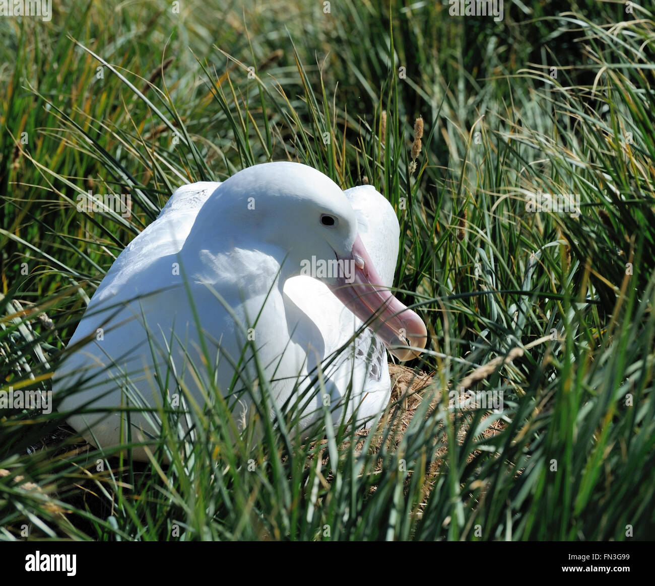 A Wandering Albatross (Diomedea exulans) on its nest. Prion Island, South Georgia. - Stock Image