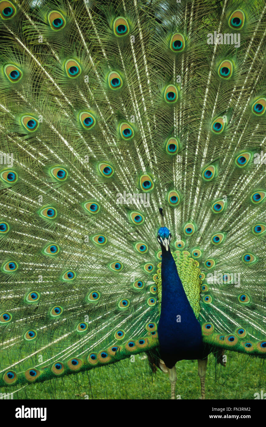 Common Peafowl, Indian Peacock (Pavo cristatus), male displaying patterned feathers Stock Photo