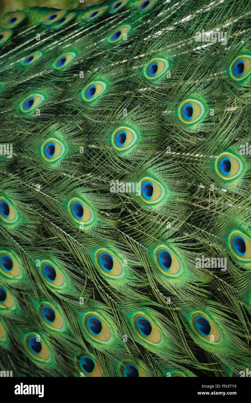 Common Peafowl, Indian Peacock (Pavo cristatus), male displaying patterned feathers - Stock Image