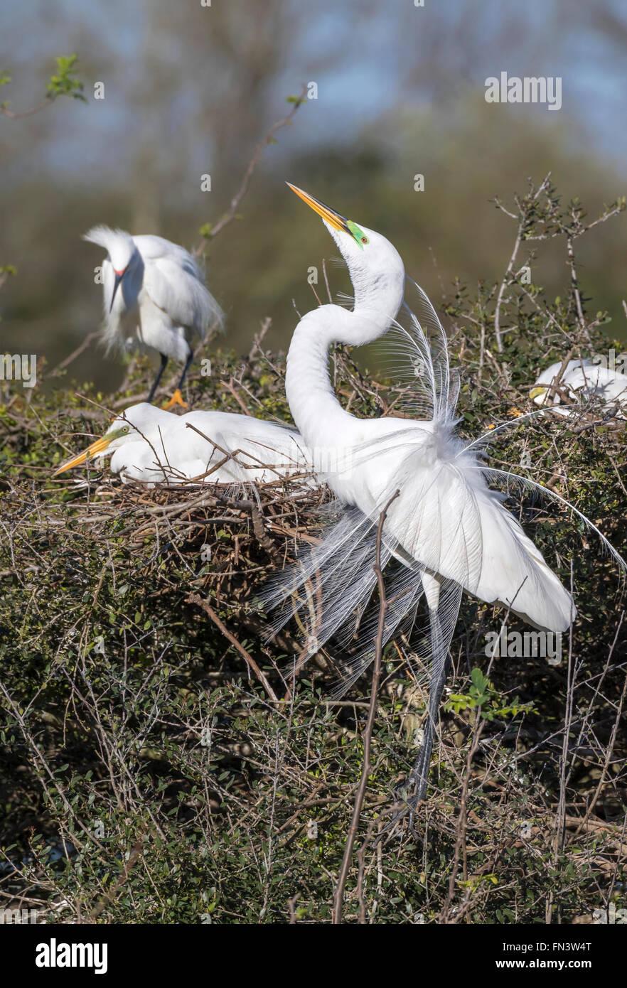 Great egret (Ardea alba) displaying the breeding plumage at rookery, High Island, Texas, USA - Stock Image