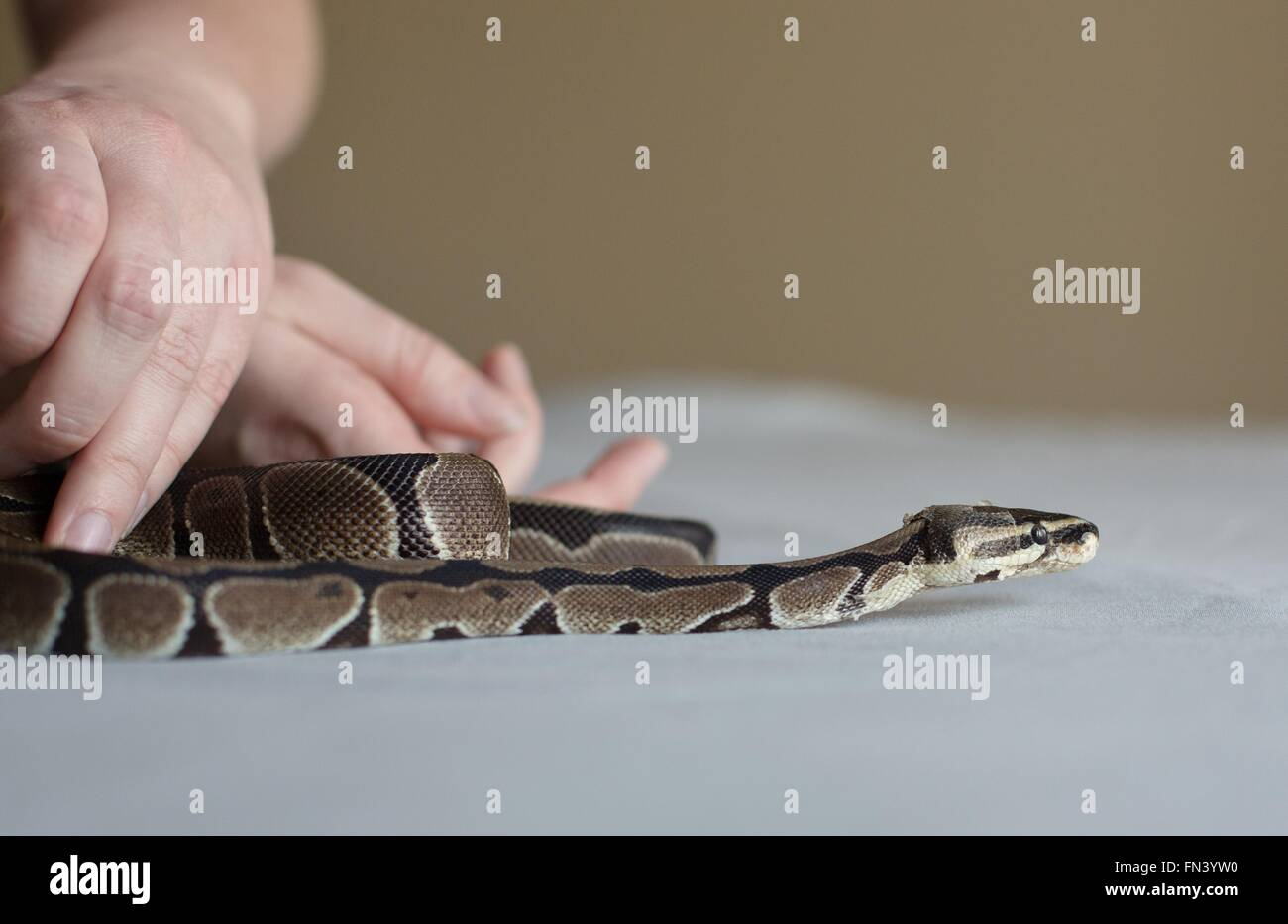 Hands holding a ball python snake on a table. - Stock Image