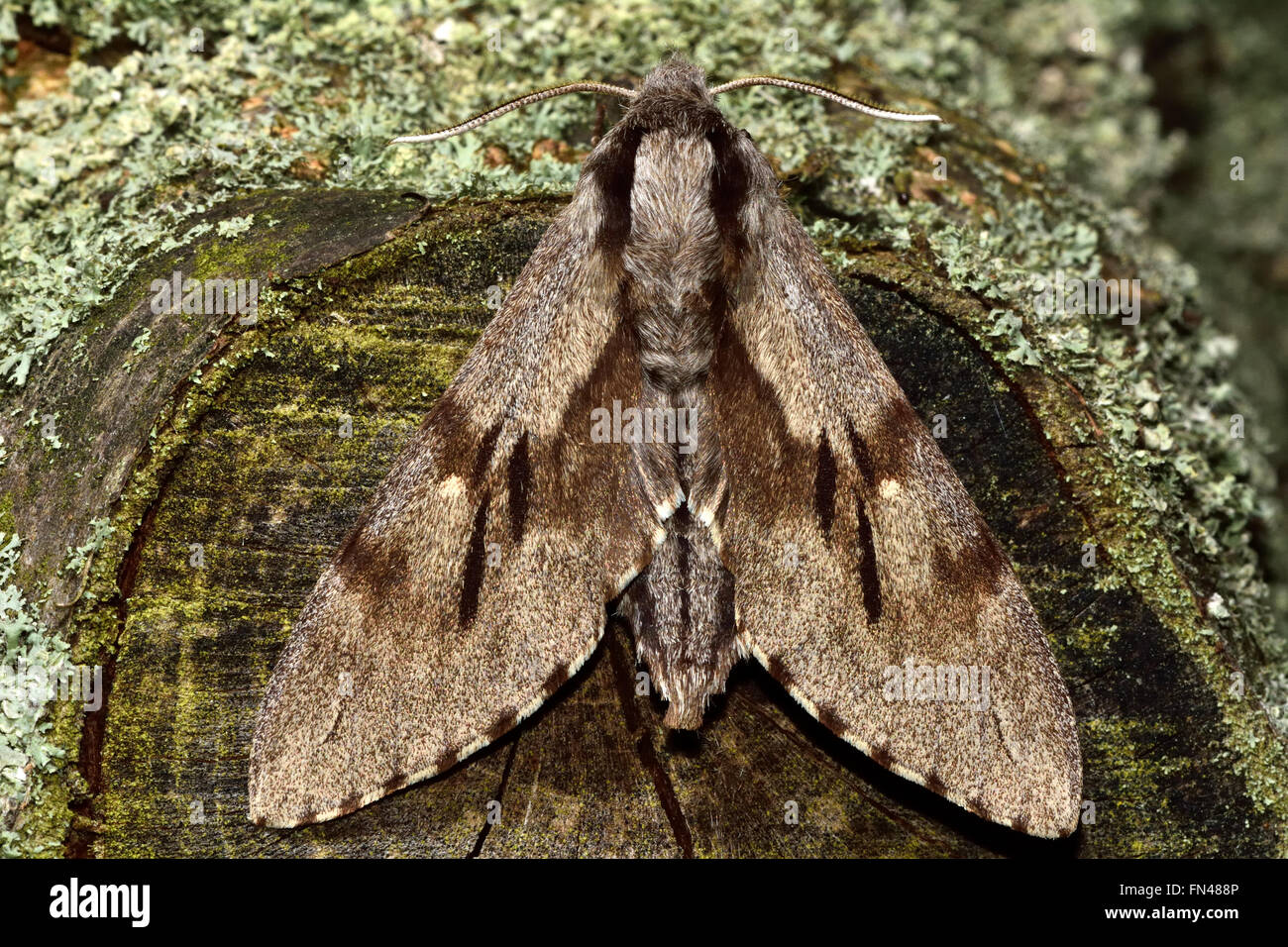 Pine hawk-moth (Hyloicus pinastri) from above. Large hawk moth in the family Sphingidae, with superbly effective - Stock Image