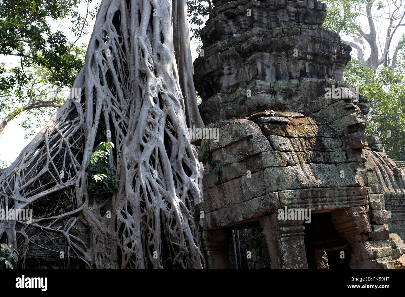 Tree growing in the midst of Ta Phrom Temple near Siem Reap, Cambodia - Stock Image