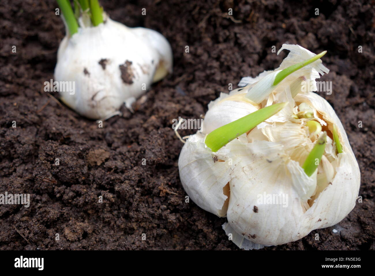Planting sprouted garlic bulb - Stock Image
