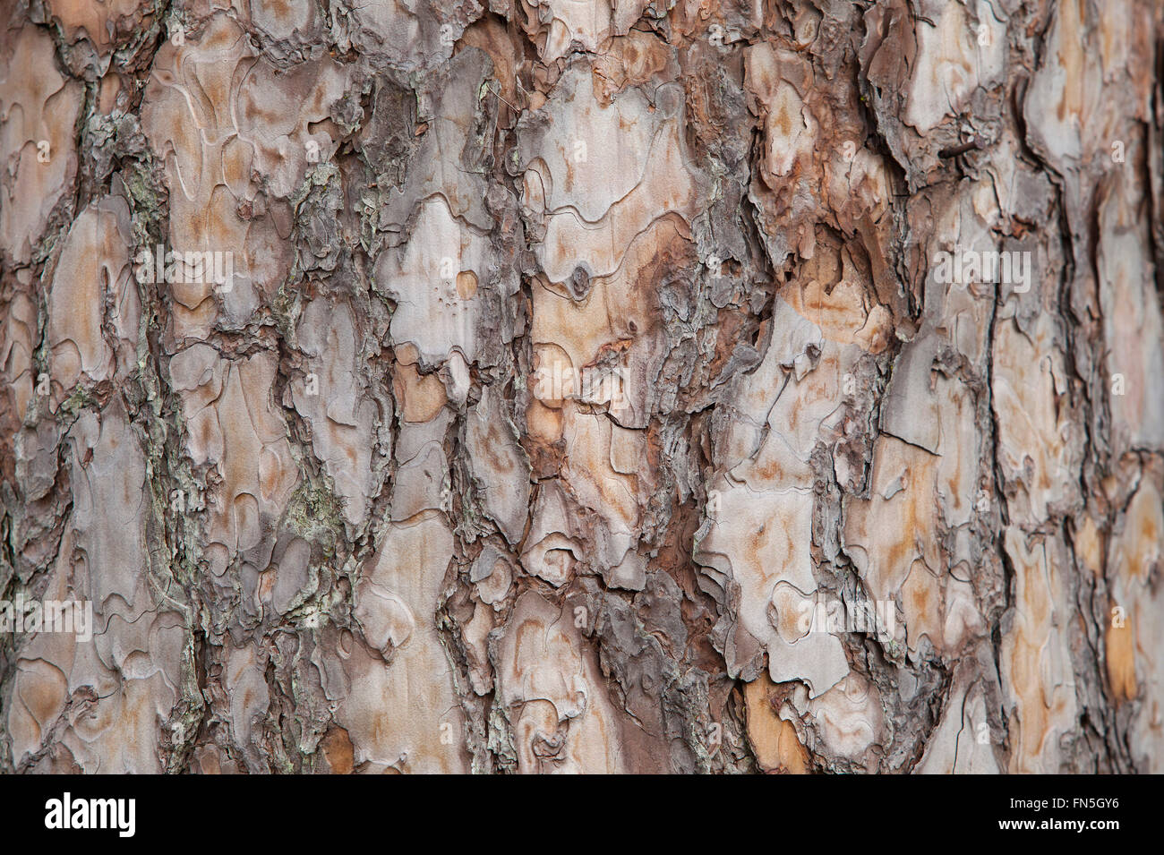 Pine tree bark background. Old tree trunk detail texture as natural background. - Stock Image