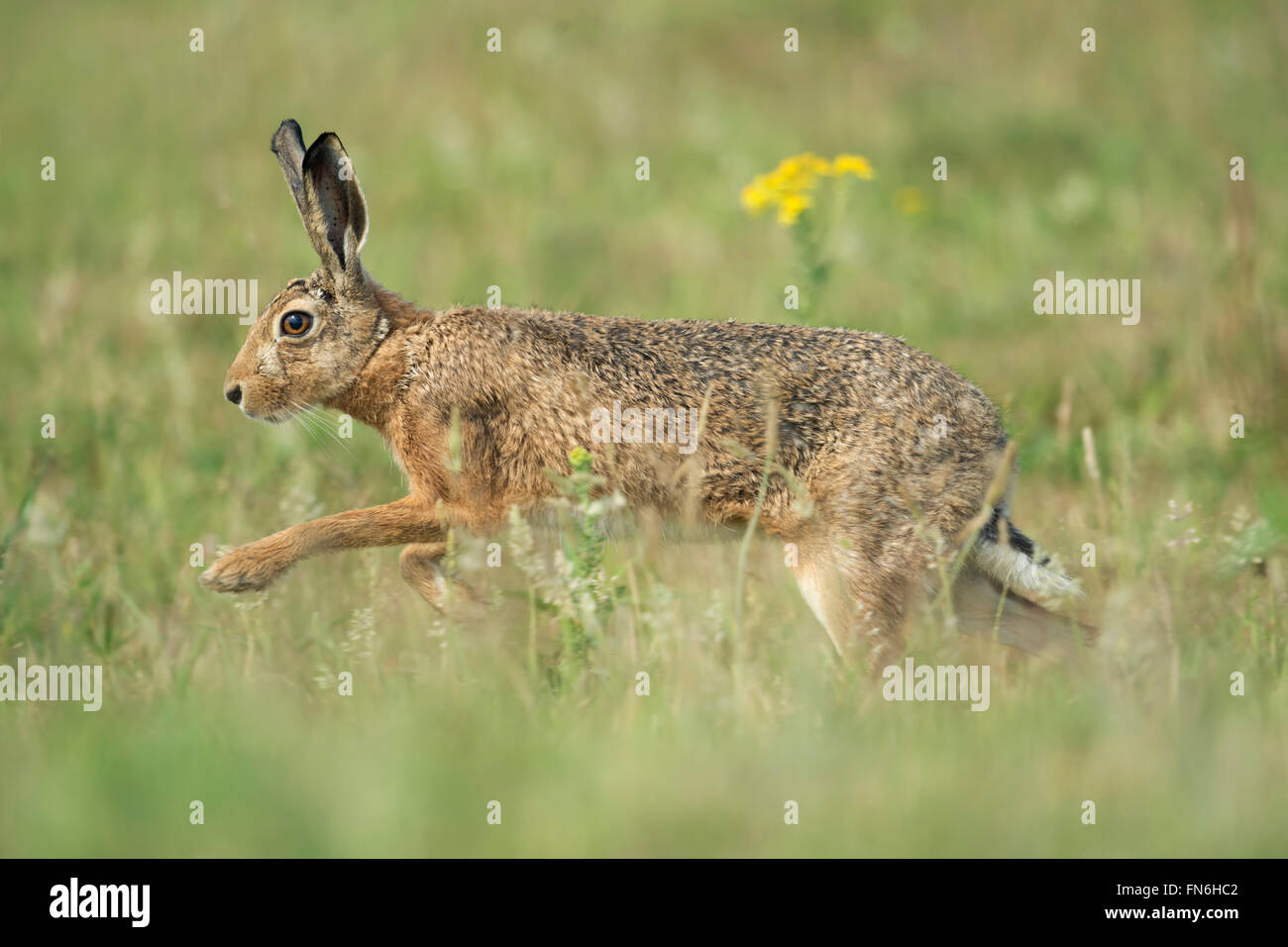 Brown Hare / European Hare / Feldhase ( Lepus europaeus ) running through flowering meadow. - Stock Image