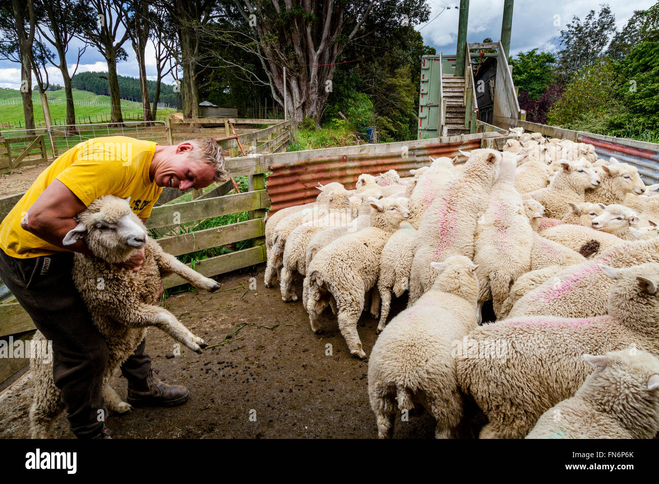 Sheep Being Loaded On To A Lorry, Sheep Farm, Pukekohe, New Zealand - Stock Image