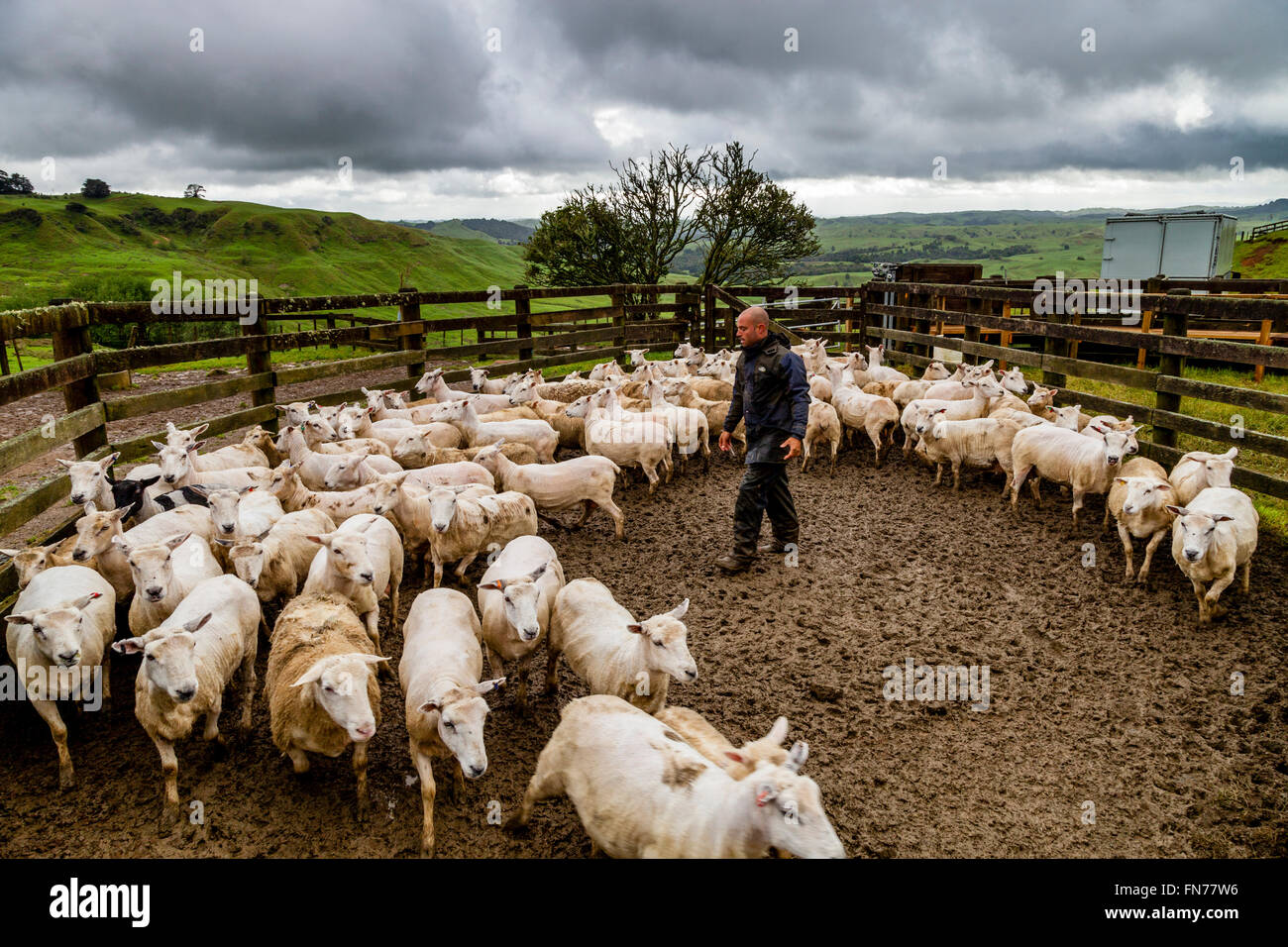A Sheep Farmer Herds Sheep On To A Lorry, Sheep Farm, Pukekohe, New Zealand - Stock Image
