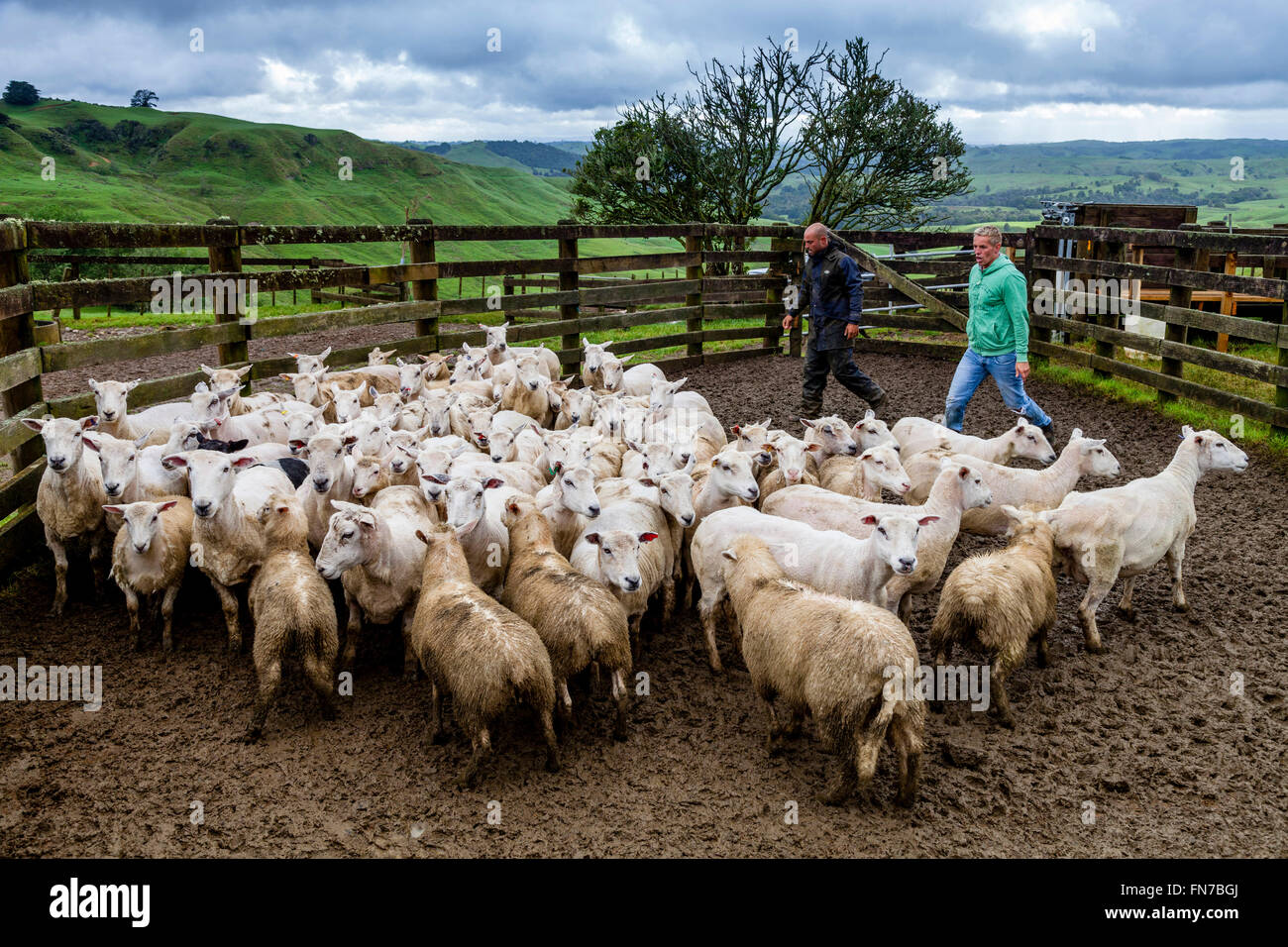 Two Sheep Farmers Herding Sheep, Sheep Farm, Pukekohe, New Zealand - Stock Image