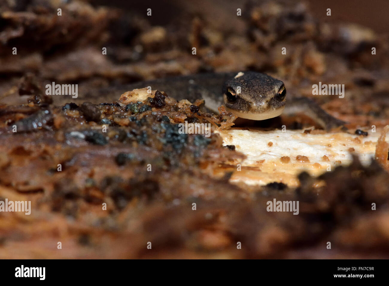 Juvenile newt disturbed in hibernation. Young amphian in the family Salamandridae, exposed from within fallen wood - Stock Image