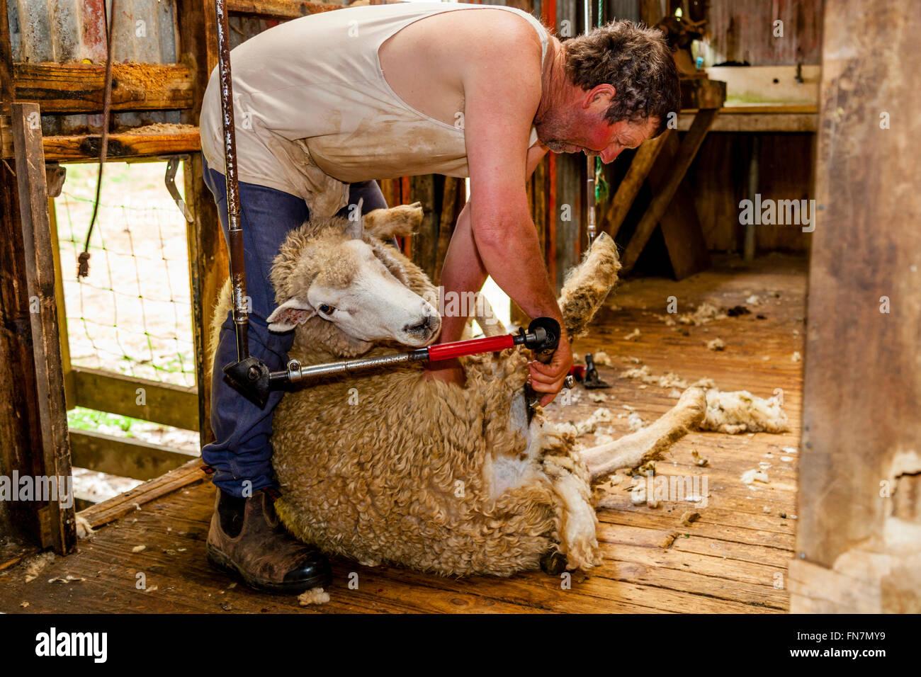 Sheep Crotching At A Sheep Farm, Pukekohe, New Zealand - Stock Image