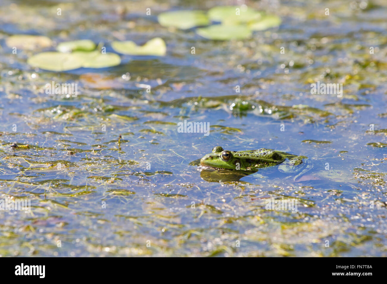 Edible frog, common water frog or green frog -  (Pelophylax esculentus or Pelophylax kl. esculentus) - Stock Image