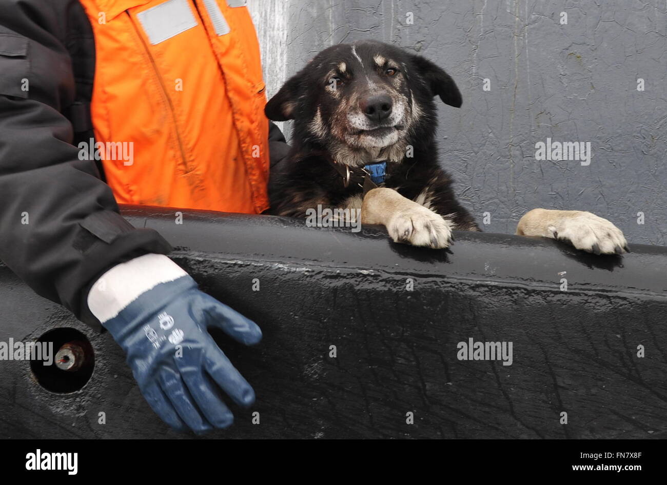 Murmansk Region, Russia. 14th Mar, 2016. A dog at a ceremony to welcome the Russian Borei-class nuclear-powered - Stock Image
