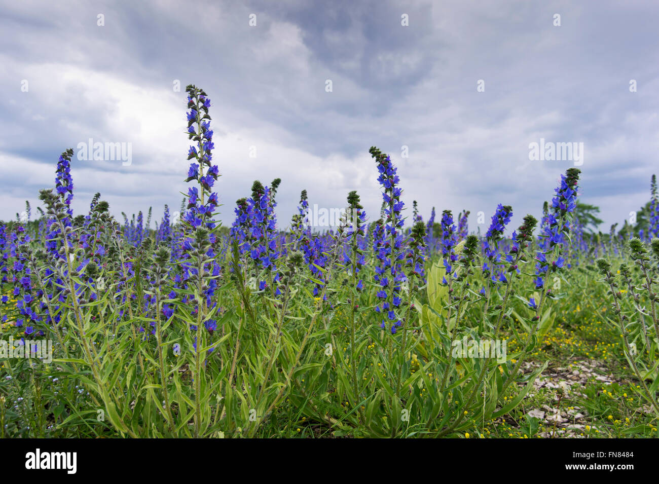 Viper\'s Bugloss or Blueweed (Echium vulgare) field. Blue blooming ...