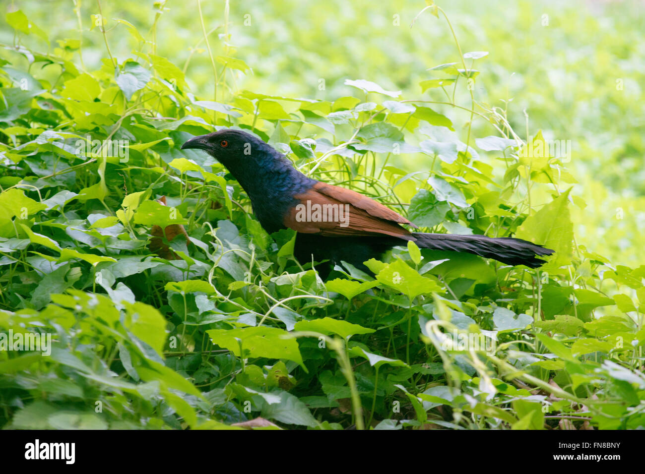 Greater Coucal - Stock Image