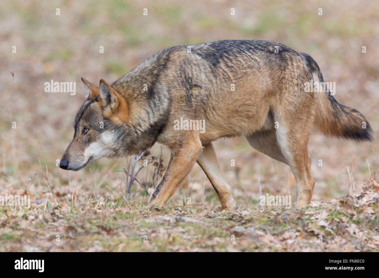 Italian Wolf (Canis lupus italicus), captive animal walking, Civitella Alfedena, Abruzzo, Italy Stock Photo