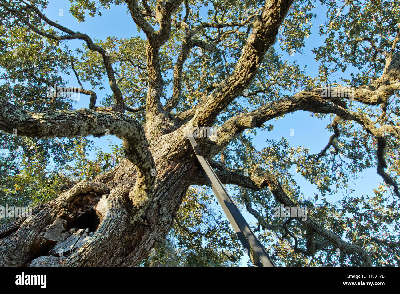 Ancient Southern Live Oak, being supported by iron frame. - Stock Image