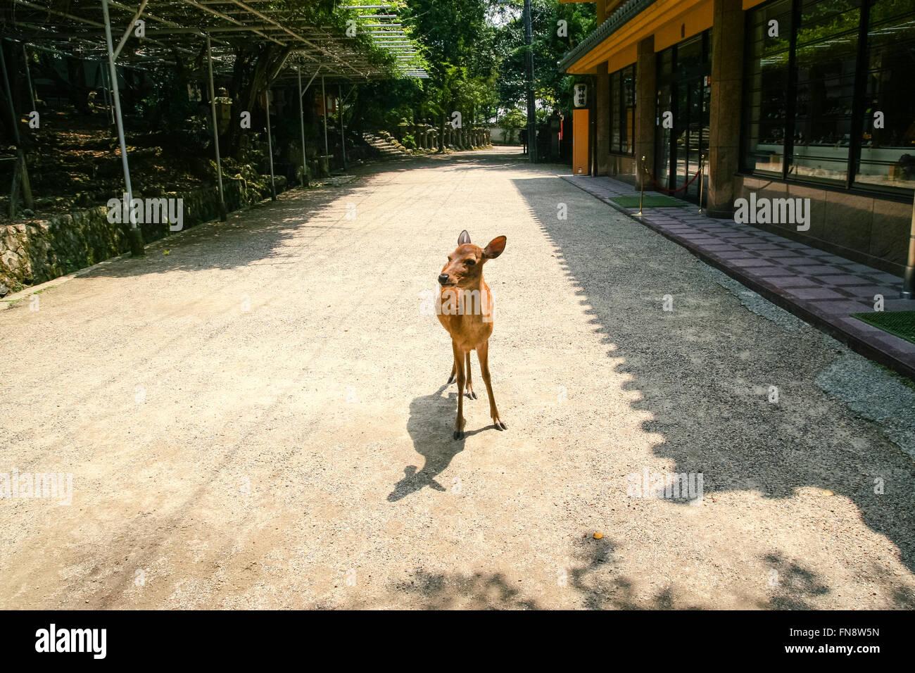 deer in the street - Stock Image