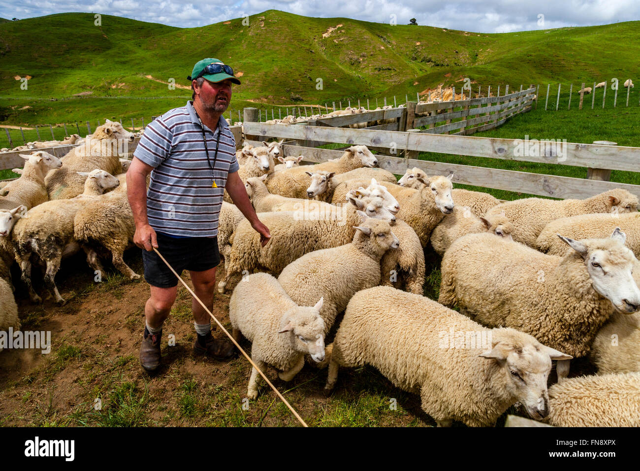 Sheep In A Pen Waiting To Be Counted and Weighed, Sheep Farm, Pukekohe, North Island, New Zealand - Stock Image
