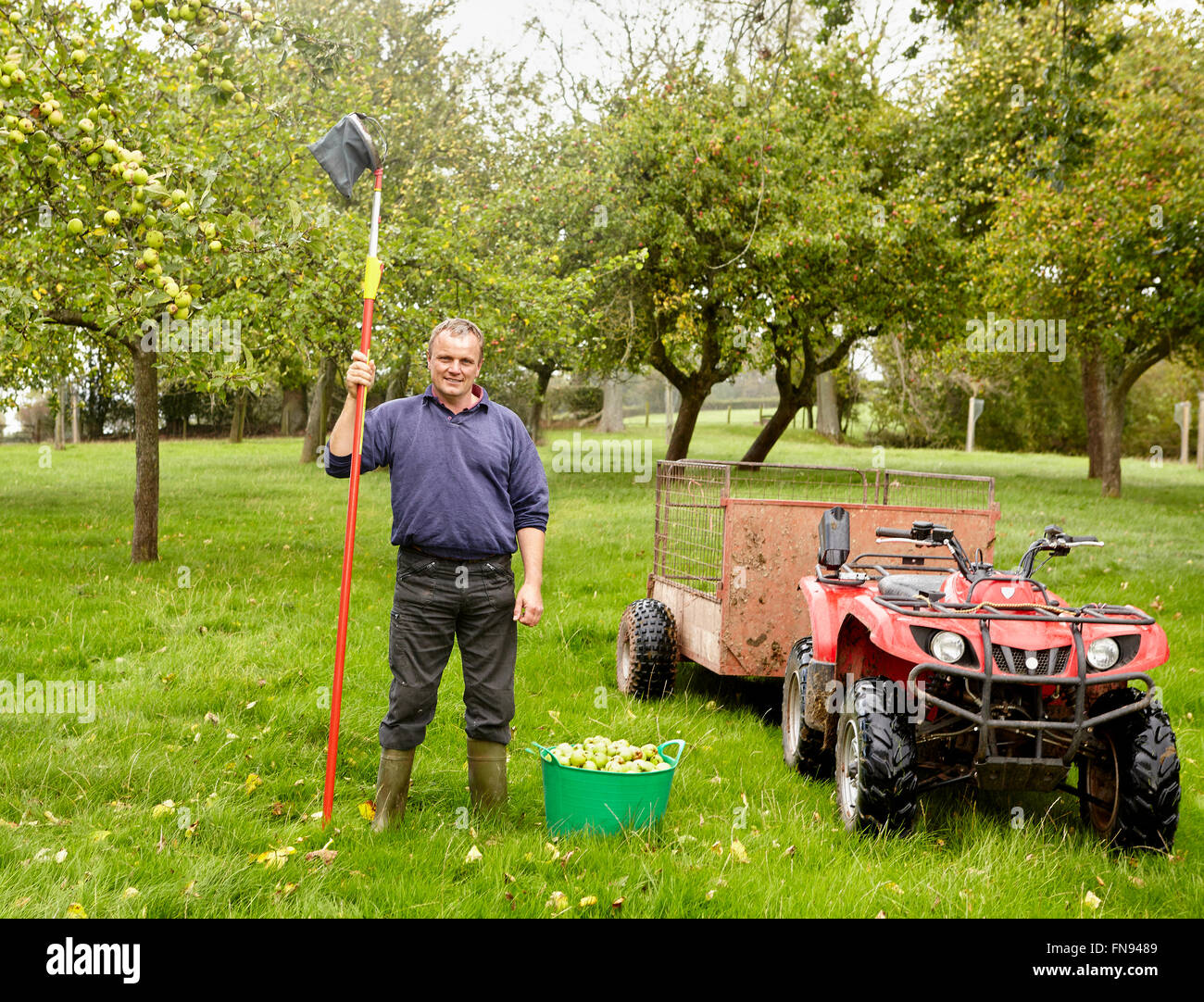 A man standing in an orchard with a long handled apple picker with net at harvest time. - Stock Image