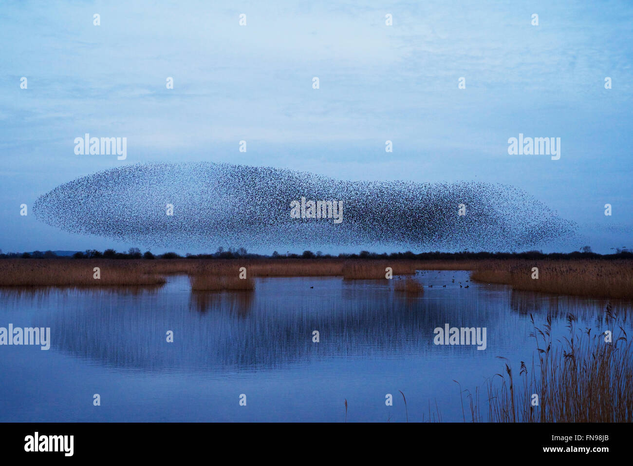 A murmuration of starlings, a spectacular aerobatic display of a large number of birds in flight at dusk over the Stock Photo