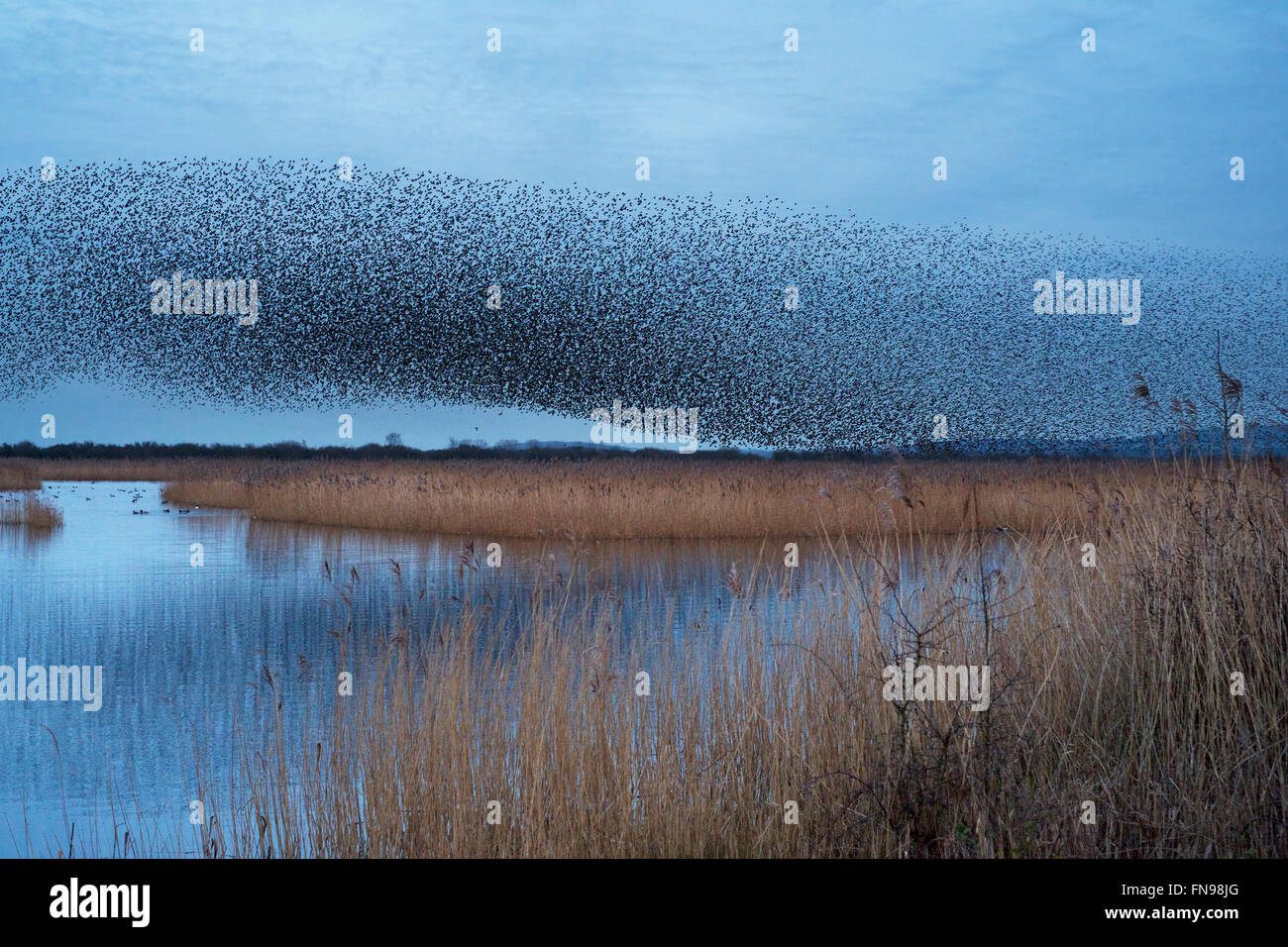 A murmuration of starlings, a spectacular aerobatic display of a large number of birds in flight at dusk over the - Stock Image