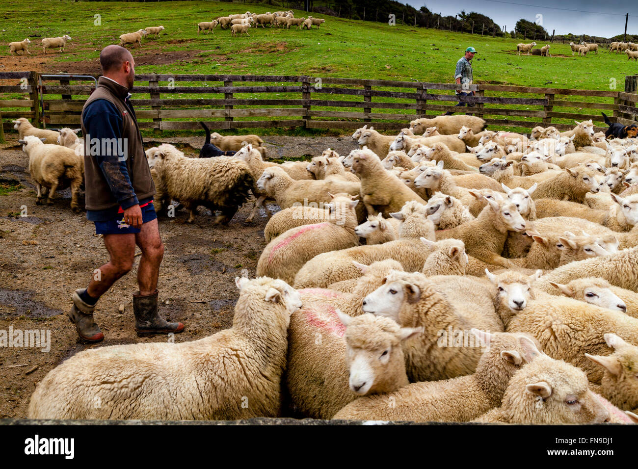 Sheep In A Pen Waiting To Be Counted and Weighed, Sheep Farm, Pukekohe, North Island, New Zealand Stock Photo