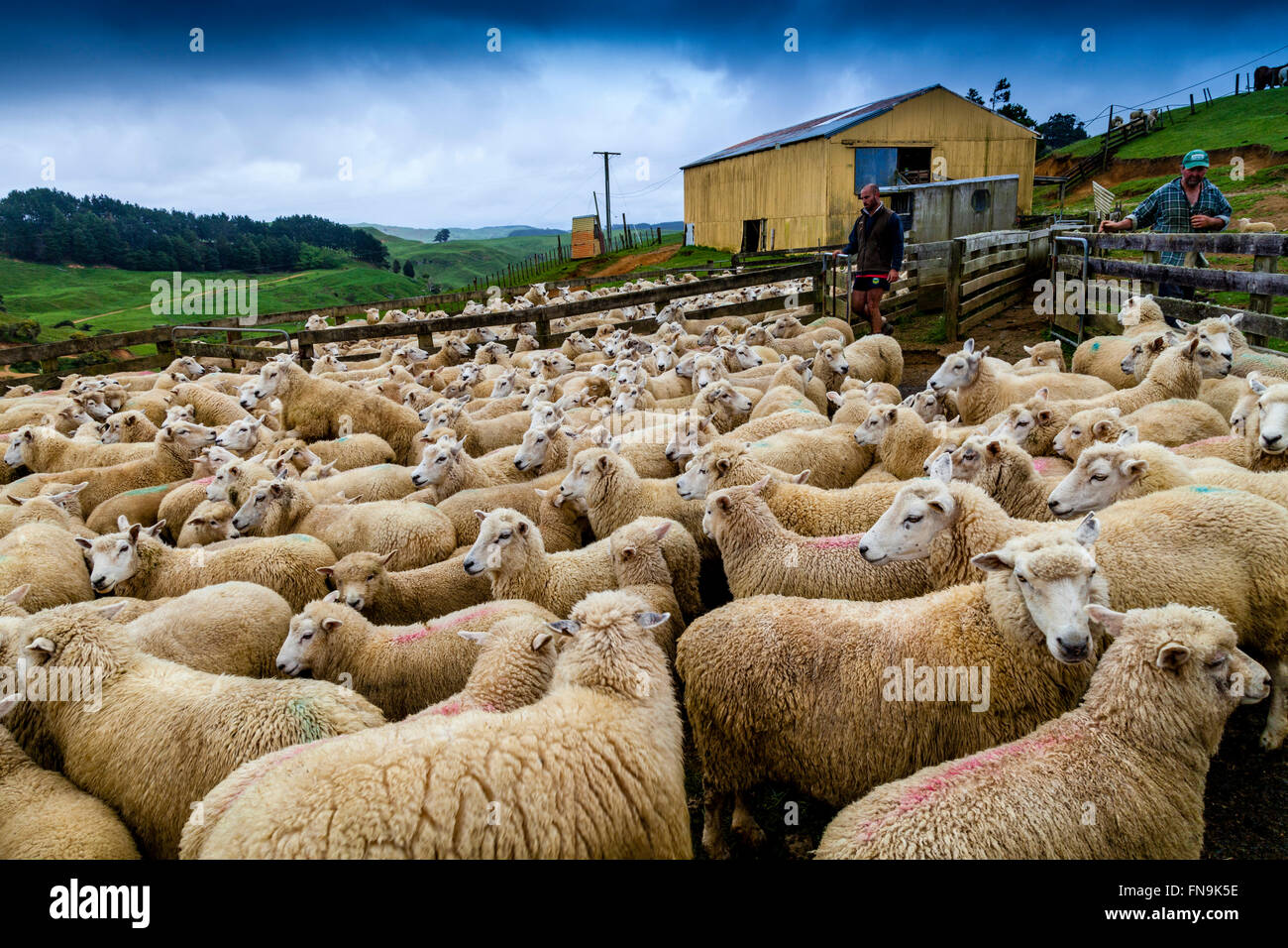 Sheep In A Pen Waiting To Be Sheared, Sheep Farm, Pukekohe, New Zealand - Stock Image
