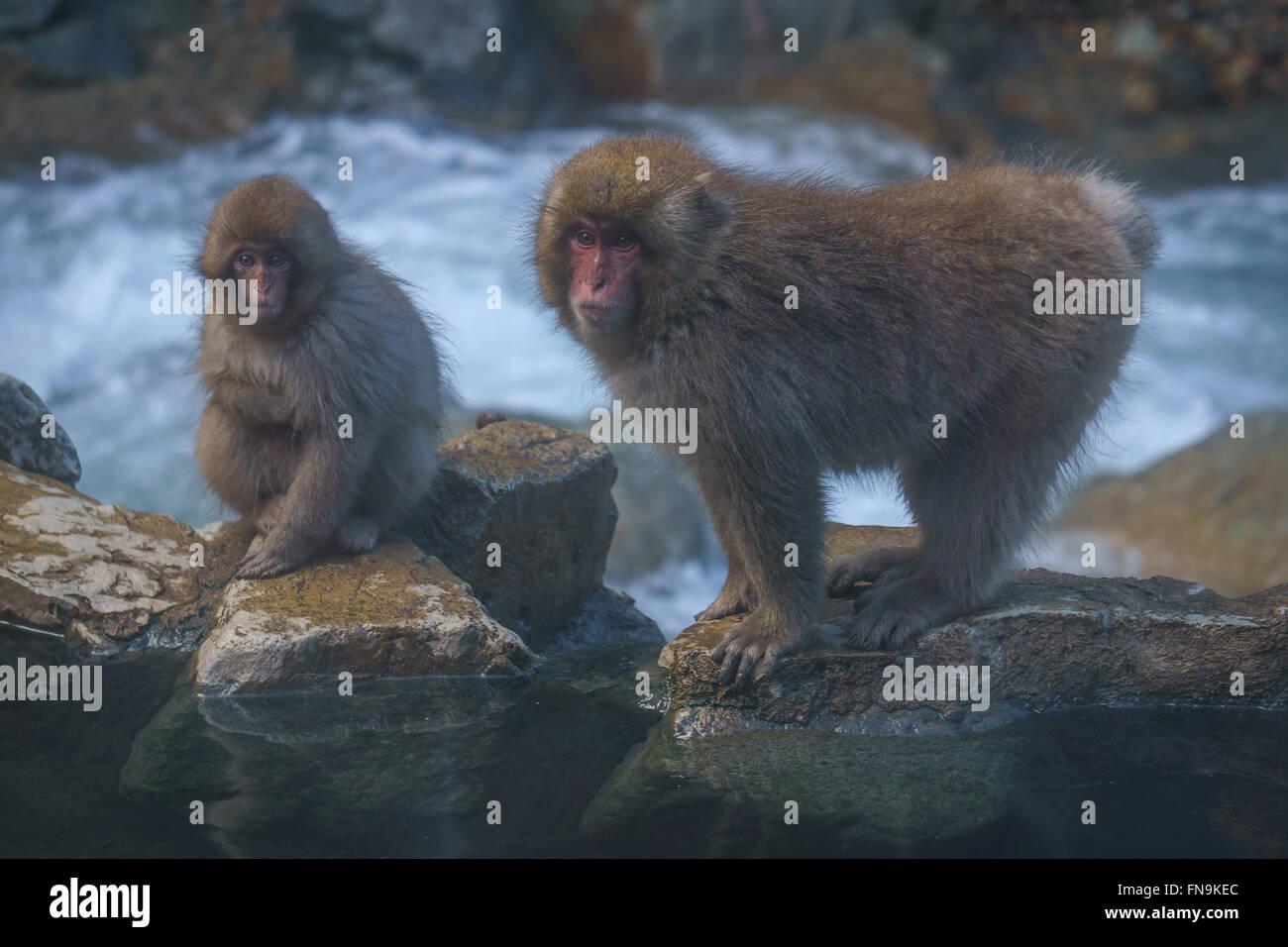 Japanese macaques by Yokoyu river, Jigokudani Monkey Park, Nagano, Japan - Stock Image