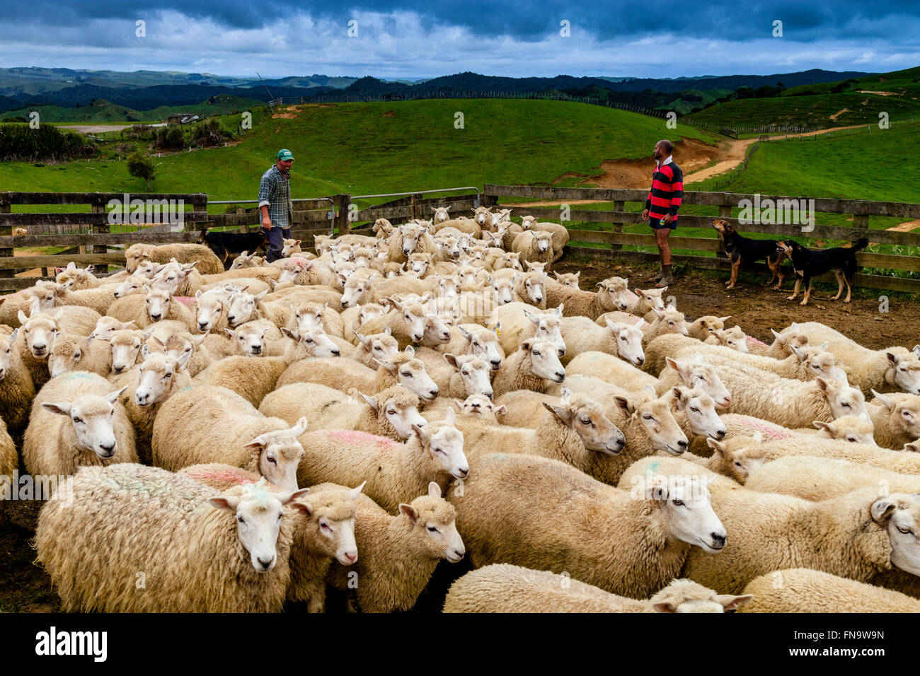 Sheep In A Sheep Pen Waiting To Be Sheared, Sheep Farm, Pukekohe, New Zealand - Stock Image