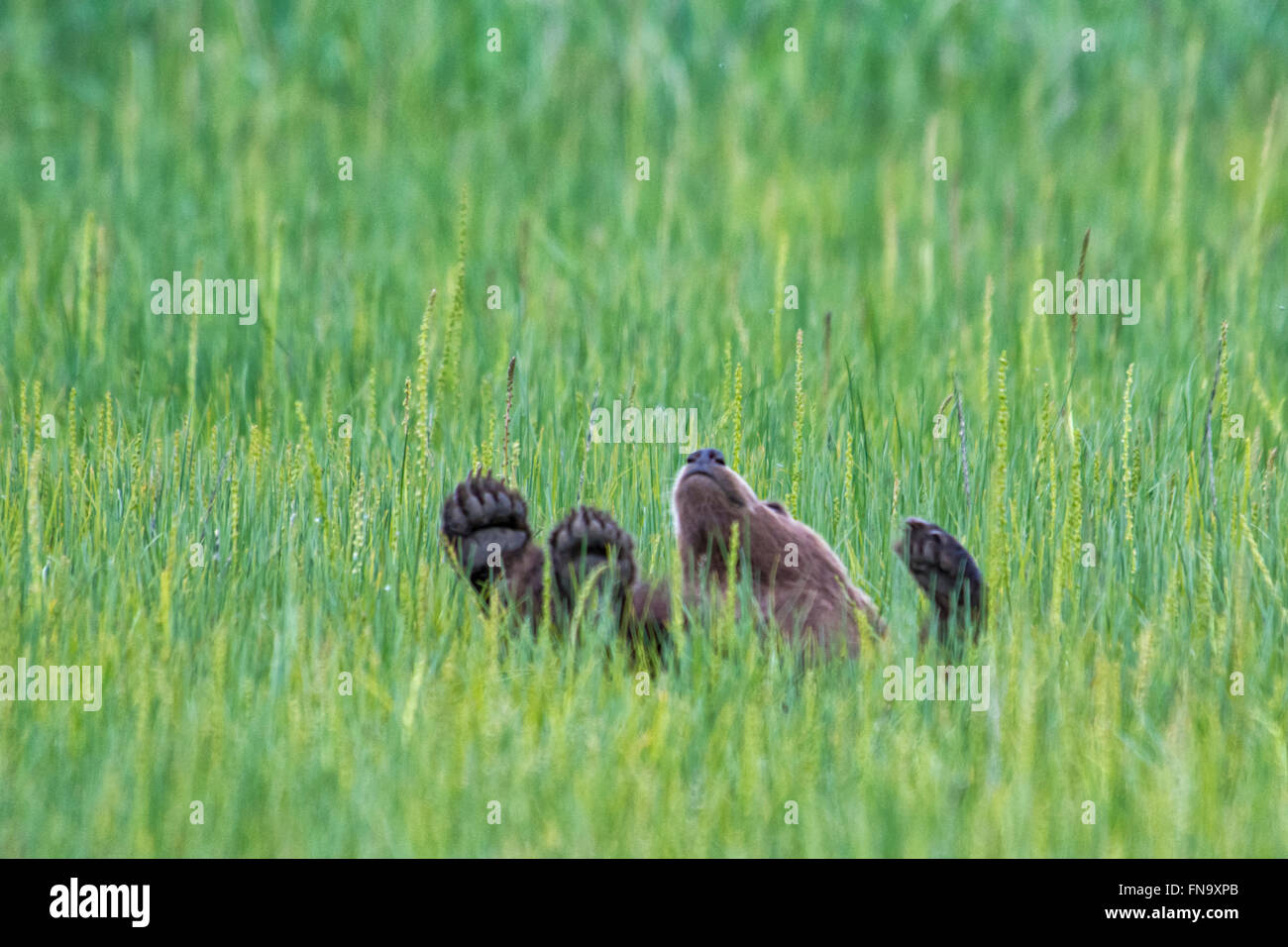 Small Grizzly Bear Spring Cub, Ursus arctos, rolling in the sedge grass in Lake Clark National Park, Alaska, USA - Stock Image