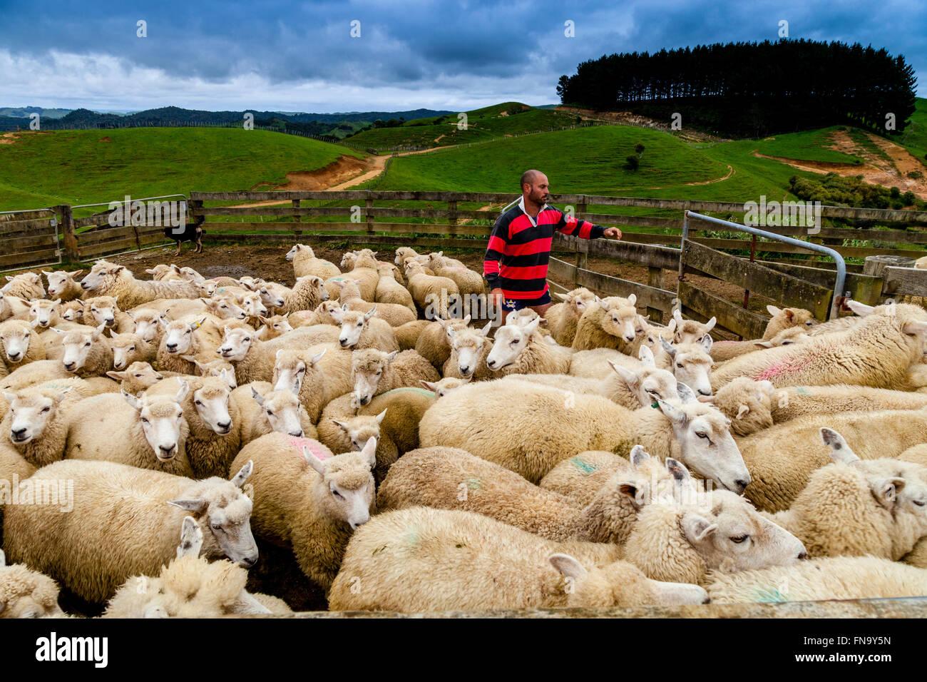 Sheep In A Sheep Pen Waiting To Be Sheared, Sheep Farm, Pukekohe, New Zealand - Stock Image
