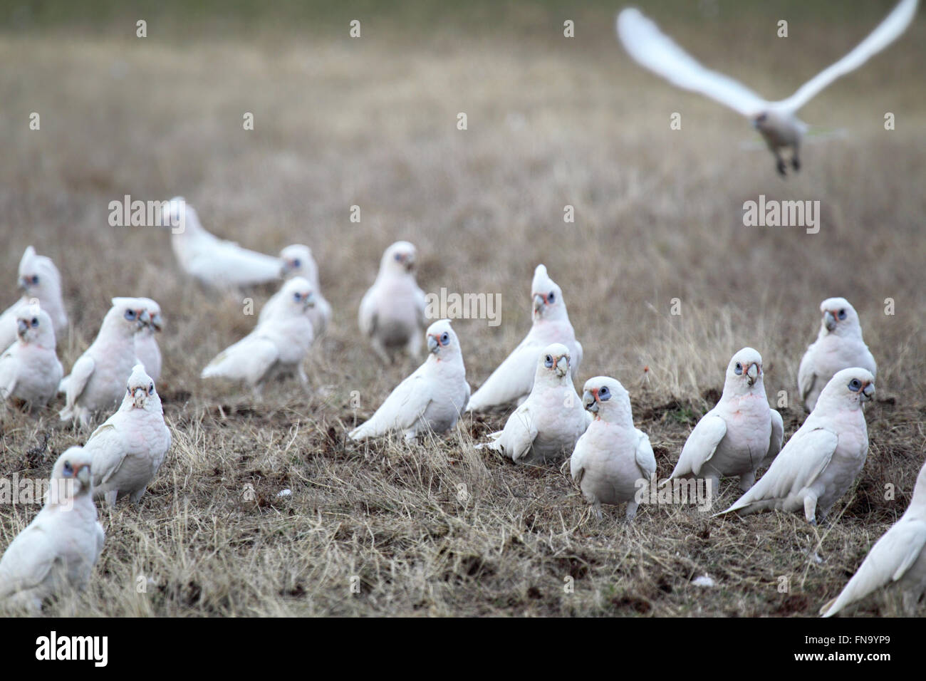 A flock of Little Corellas (Cacatua sanguinea) sitting on a field in the Flinders Chase National Park on Kangaroo - Stock Image