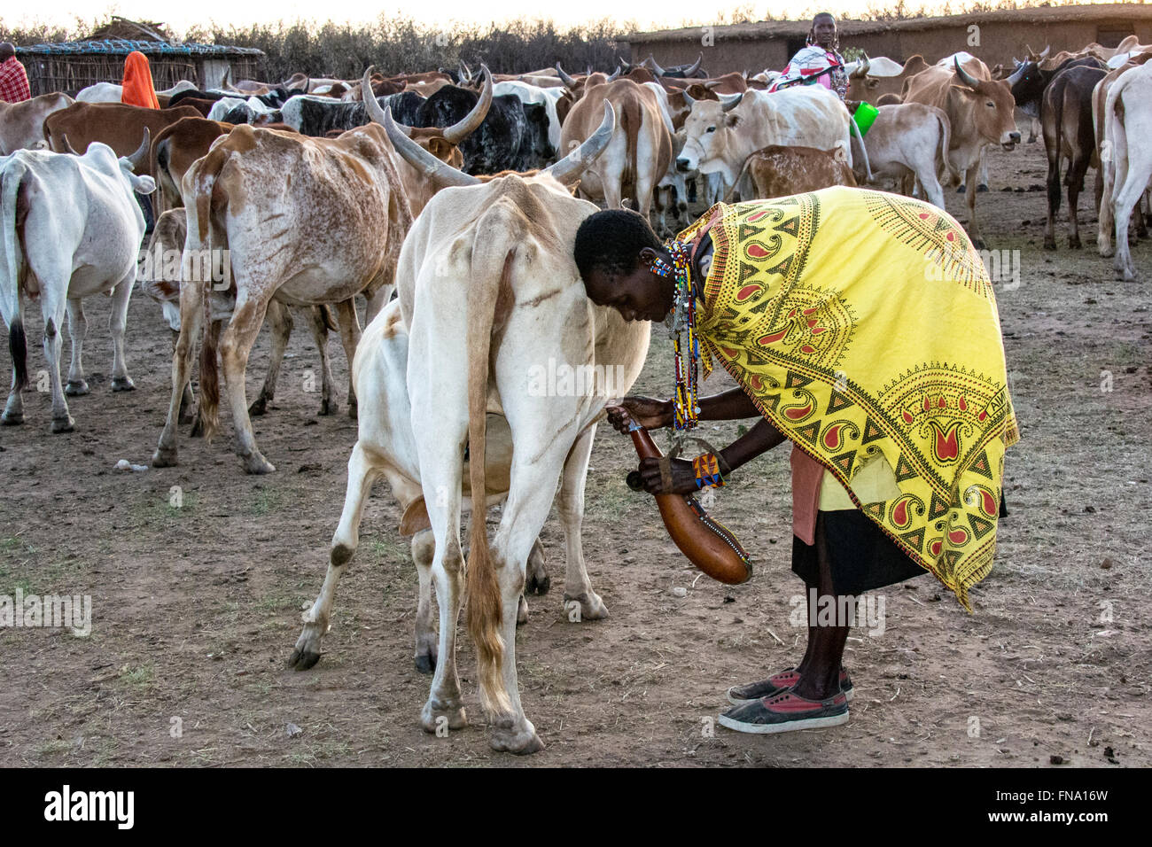 Maasai woman, wearing a colorful kanga and sneakers, milking a cow into a gourd, the traditional job of the women Stock Photo