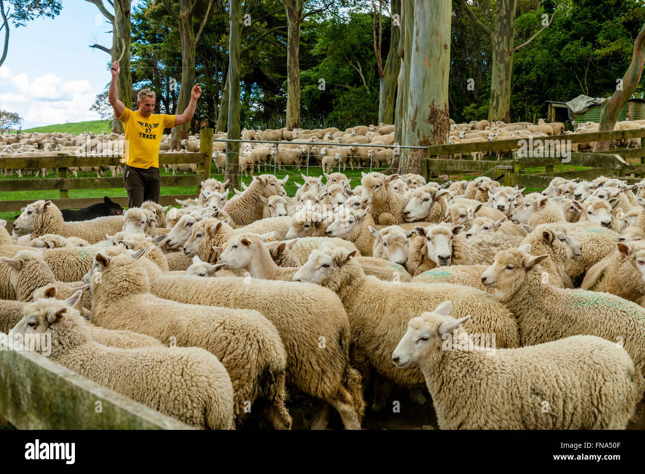 Sheep Are Moved Into A Sheep Pen In Readiness To Be Sold, Sheep Farm, Pukekohe, New Zealand - Stock Image