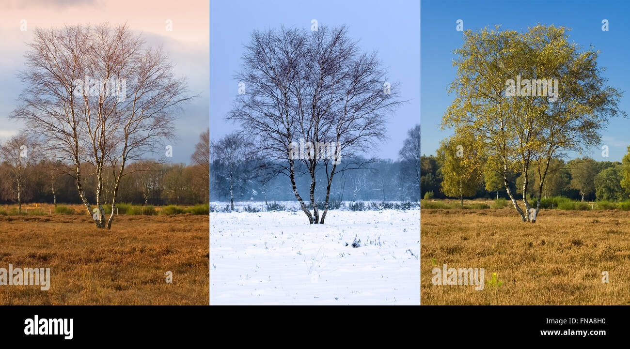 Single birch tree in three seasons: autumn, winter and late spring early summer - Gooi district near Hilversum, - Stock Image