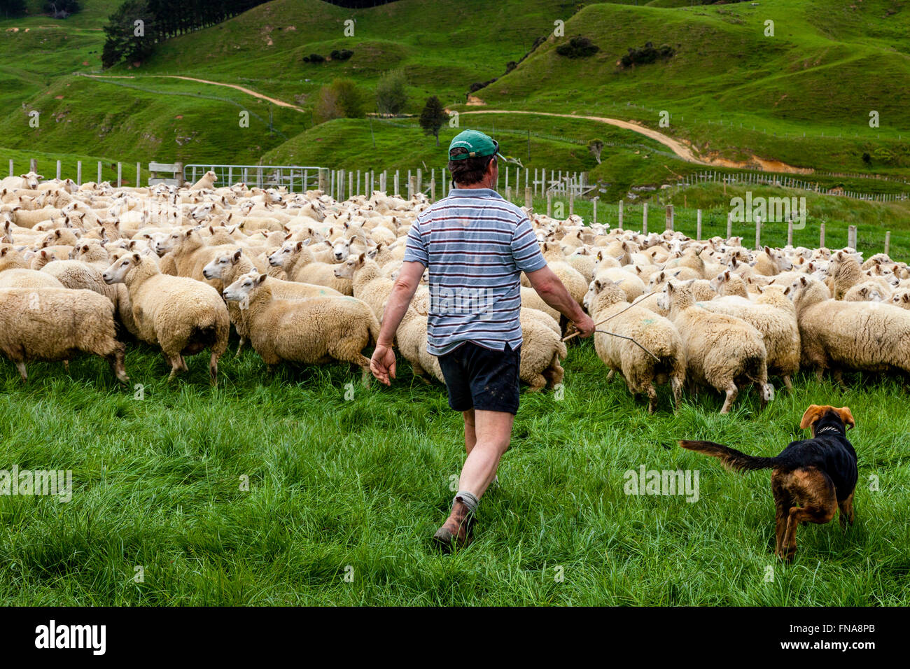 Sheep In A Pen Waiting To Be Marked and Weighed, Sheep Farm, Pukekohe, North Island, New Zealand - Stock Image