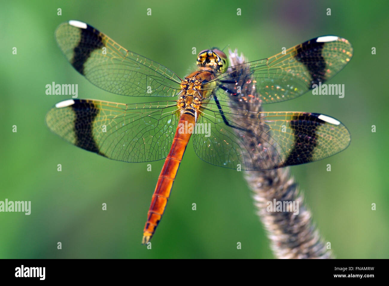 Banded darter (Sympetrum pedemontanum) male dragonfly Stock Photo