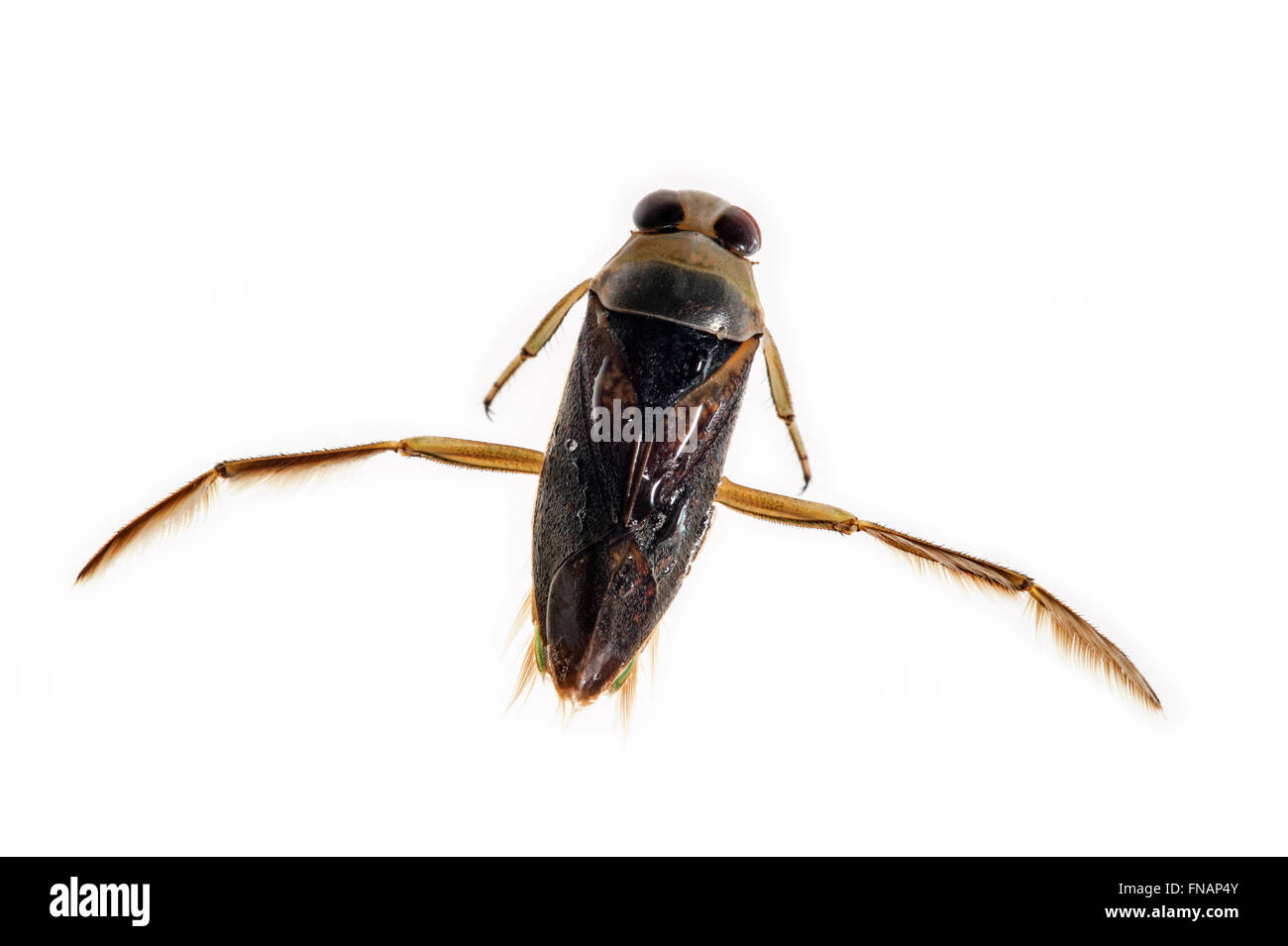 Spotted backswimmer / Mottled backswimmer / Peppered water boatman (Notonecta maculata) on white background - Stock Image