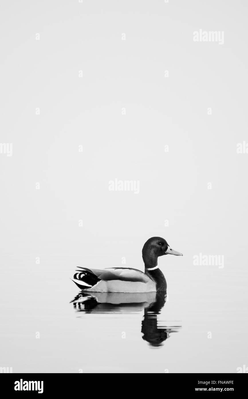 Mallard in water - Stock Image