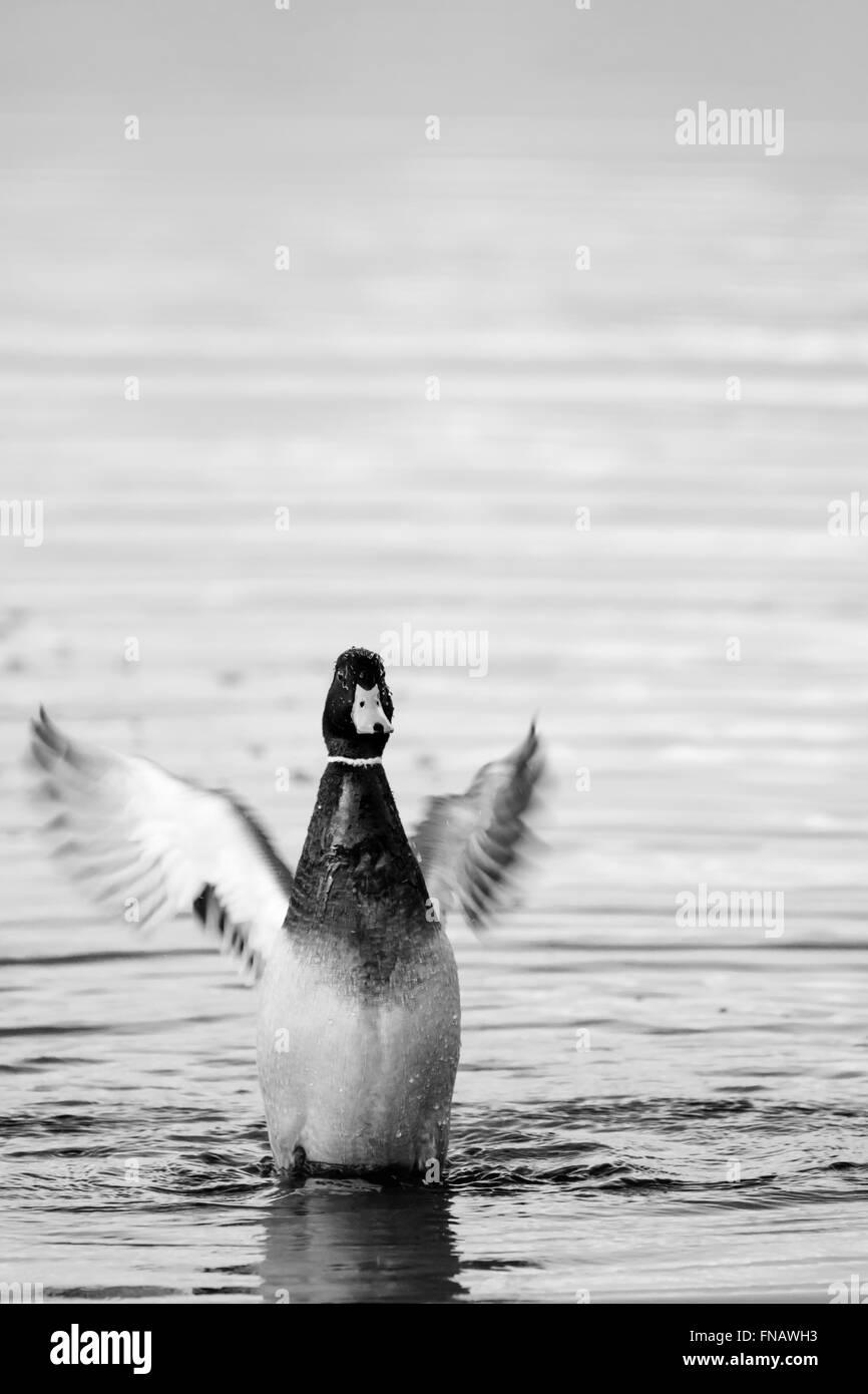 Mallard flapping wings in lake water - Stock Image