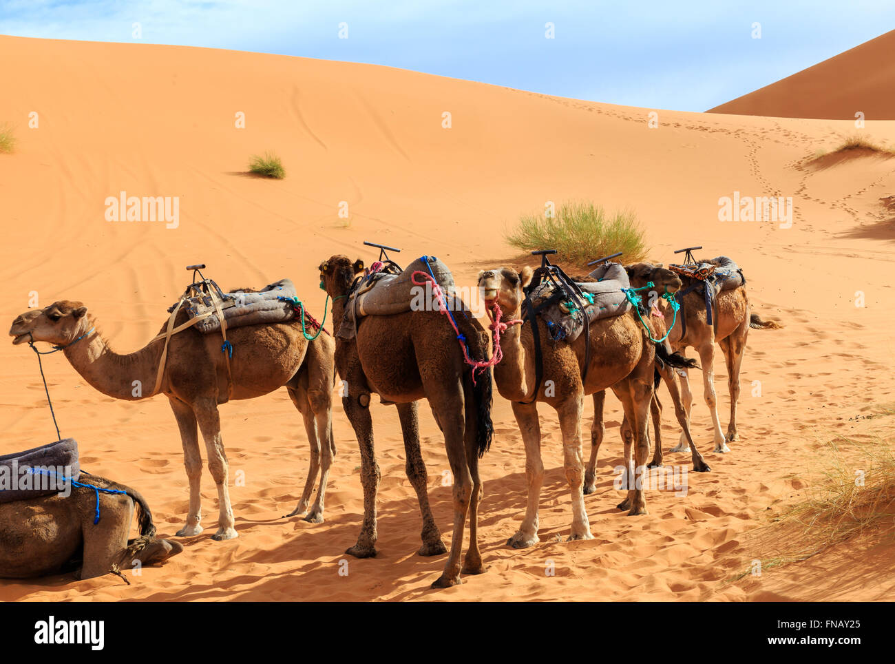 camels are in the dunes, Sahara desert - Stock Image