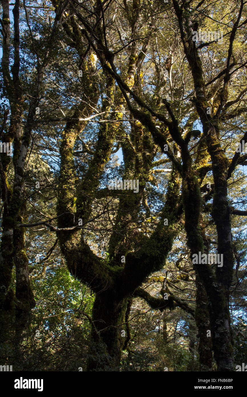 Old grown Southern Beech forest covers parts of the Tongariro Stock